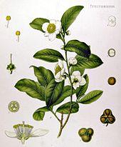 170px-Camellia_sinensis_-_Köhler–s_Medizinal-Pflanzen-025-1